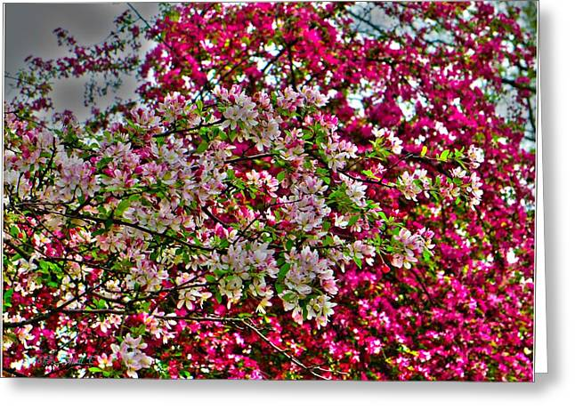 Crabapple Contrast Blossoms Greeting Card