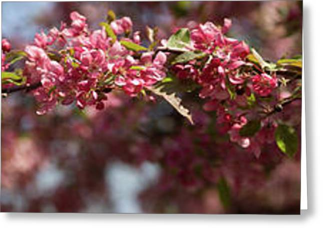 Crabapple In Spring Panoramic Greeting Card