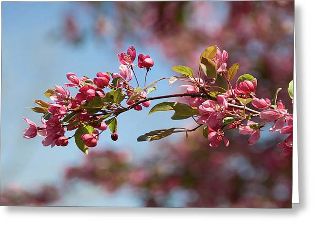 Crabapple In Spring Section 1 Of 4 Greeting Card