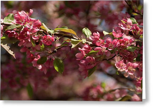 Crabapple In Spring Section 3 Of 4 Greeting Card