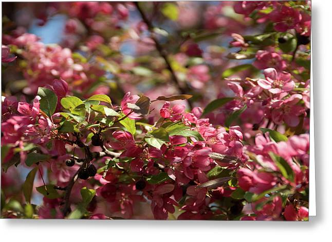 Crabapple In Spring Section 4 Of 4 Greeting Card