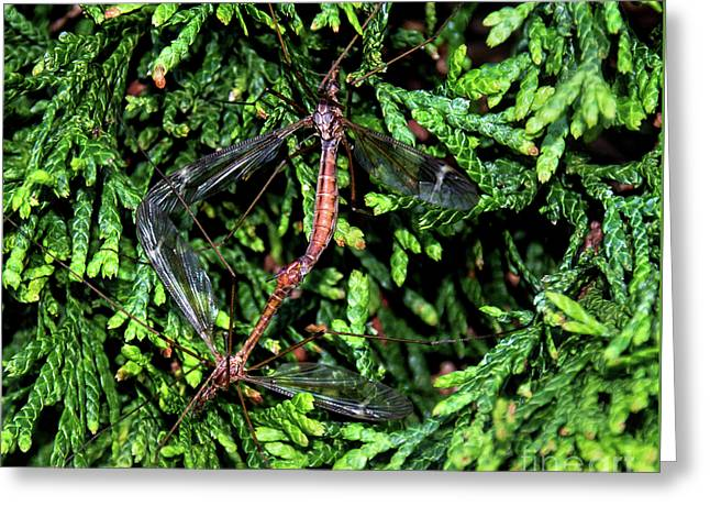 Crane Flies Caught In The Act Greeting Card