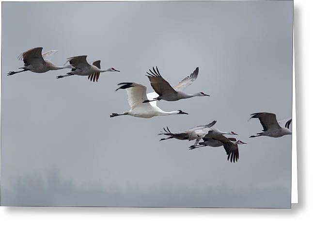 Cranes Flying Greeting Card
