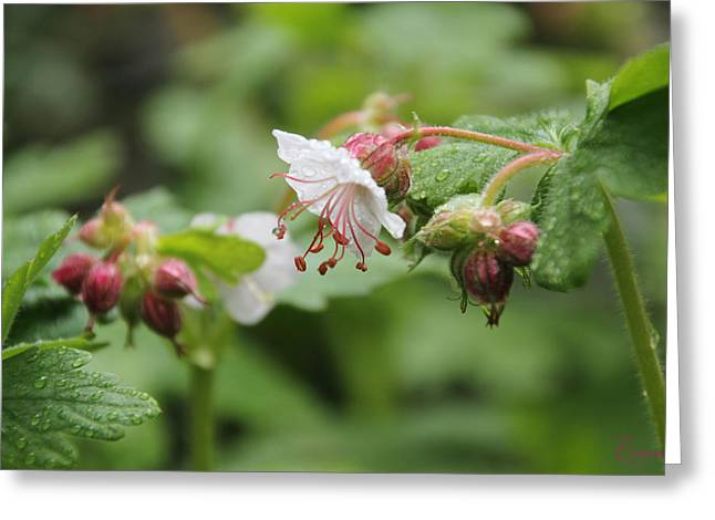 Cranesbill Raindrops Greeting Card