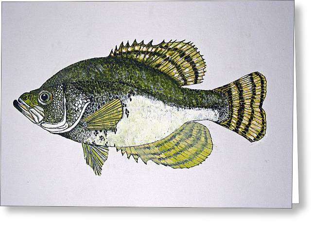 Crappie Fish Of Usa  Greeting Card by Don Seago