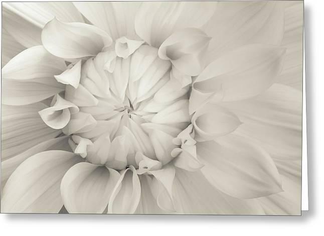 Cream Chrysanthemum Greeting Card