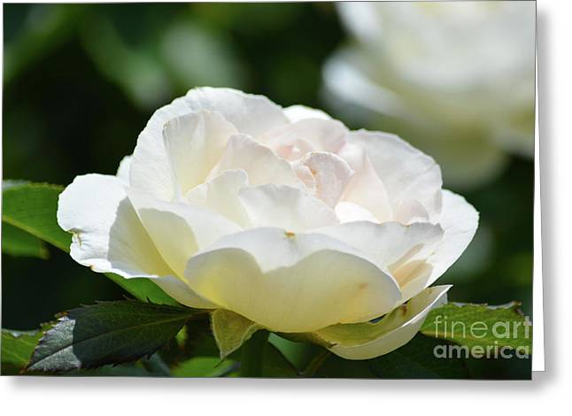 Cream Color Rose  Greeting Card by Ruth Housley