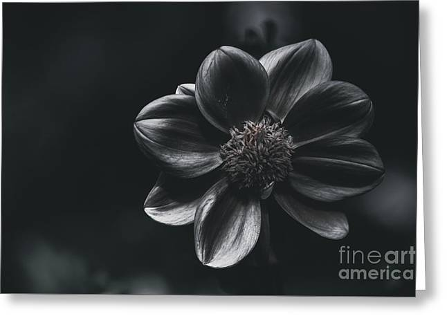 Creative Fine Art Flower. The Black Dahlia Greeting Card by Jorgo Photography - Wall Art Gallery
