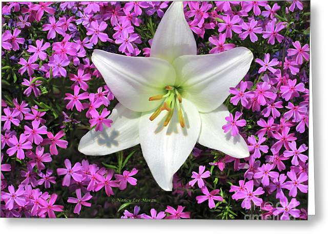 Creeping Fuchsia Phlox With Lily Greeting Card by Nancy Lee Moran