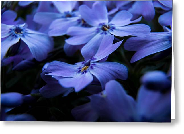 Creeping Phlox Greeting Card