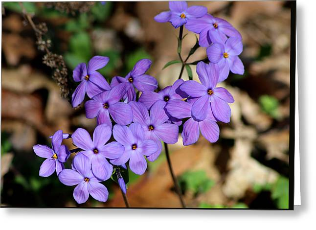 Creeping Phlox Greeting Card by Living Color Photography Lorraine Lynch