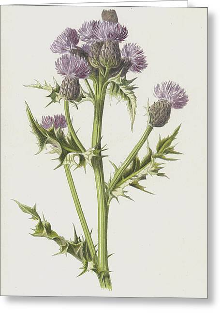 Creeping Thistle Greeting Card
