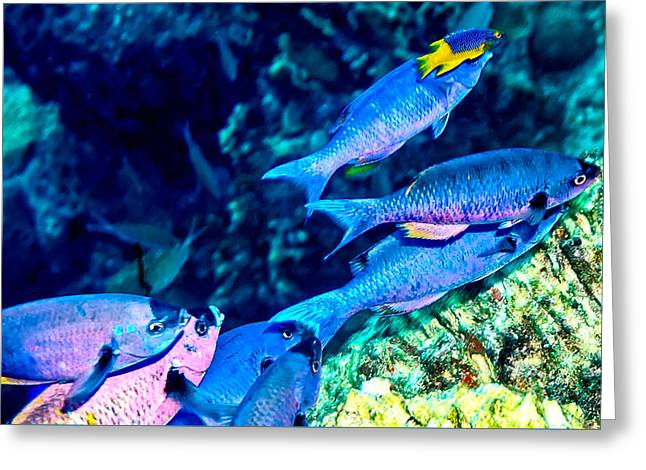 Greeting Card featuring the photograph Creole Wrasse And Little Spanish Hogfish by Perla Copernik