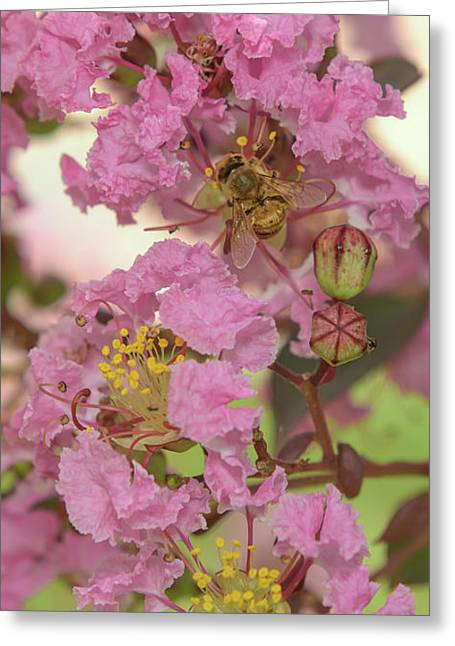 Crepe Myrtle And Bee Greeting Card