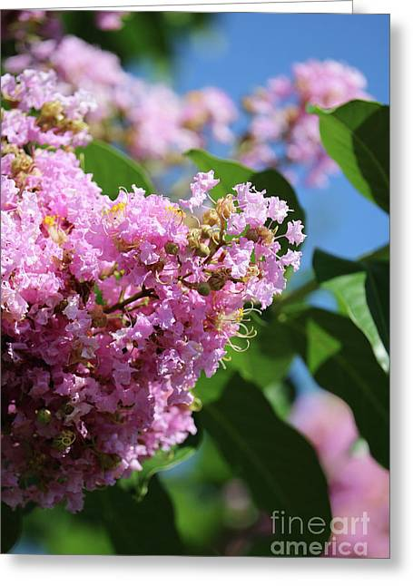 Crepe Myrtle Days Greeting Card