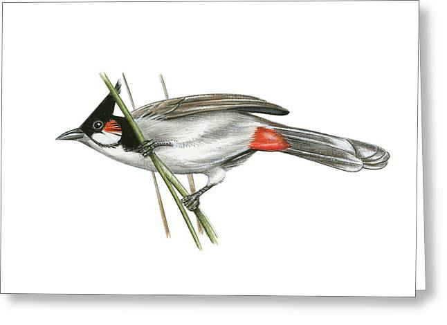 Crested Bulbul Greeting Card by Lionel Portier