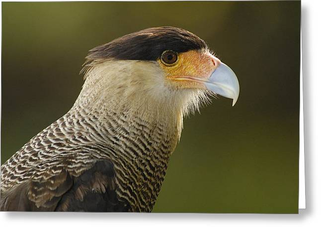 Crested Caracara Polyborus Plancus Greeting Card by Pete Oxford