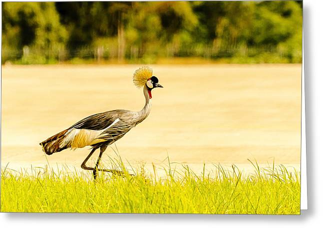 Crested Crane Greeting Card by Patrick Kain