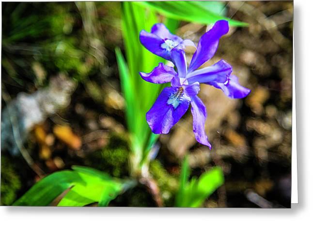 Crested Dwarf Iris Greeting Card