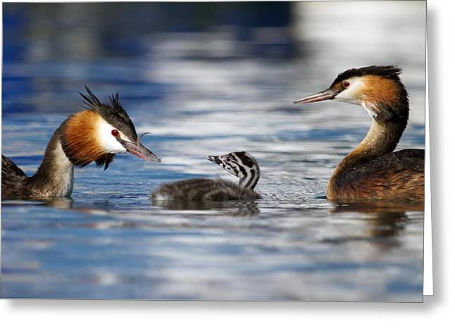 Crested Grebe, Podiceps Cristatus, Ducks Family Greeting Card