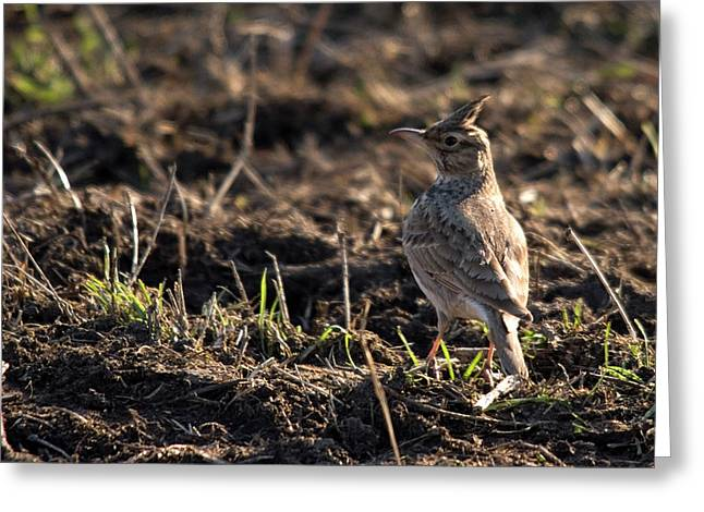 Crested Lark Greeting Card by Cliff Norton