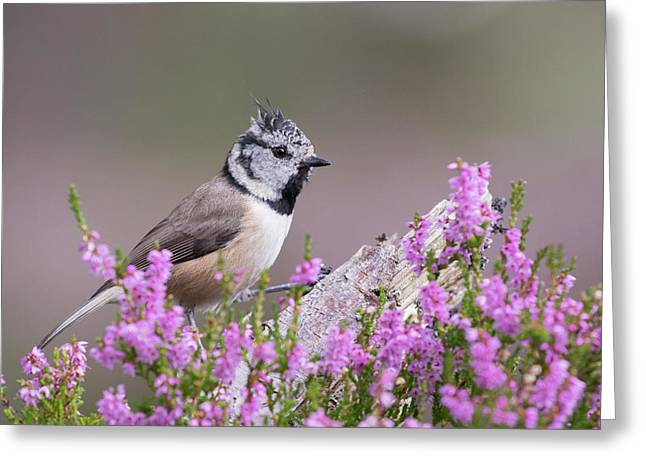 Crested Tit In Heather Greeting Card