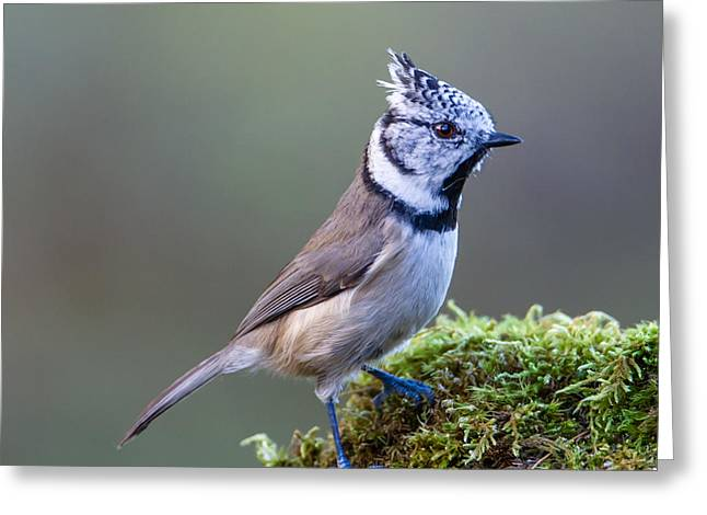 Crested Tit Greeting Card