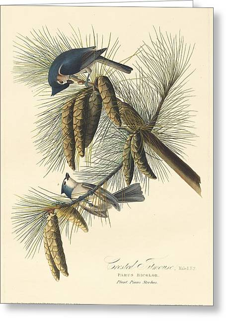 Crested Titmouse Greeting Card