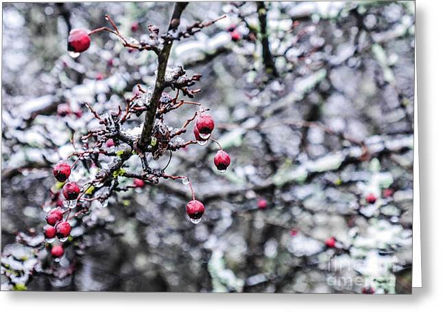 Crimson Berries In Winter Greeting Card by Lexa Harpell