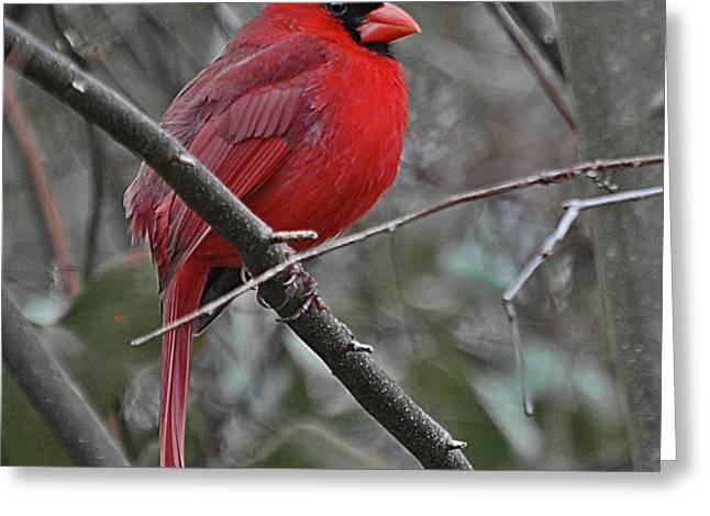 Crimson Cardinal Greeting Card