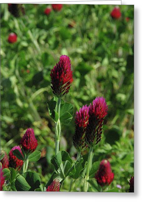 Crimson Clover Greeting Card by Robyn Stacey