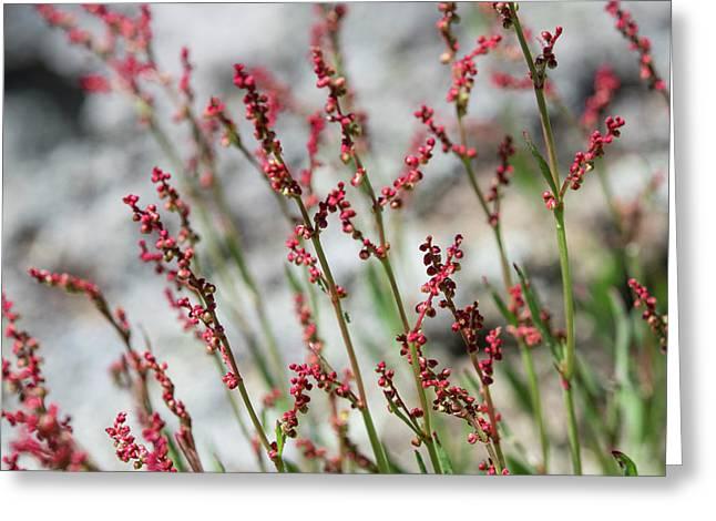 Crimson Field Greeting Card
