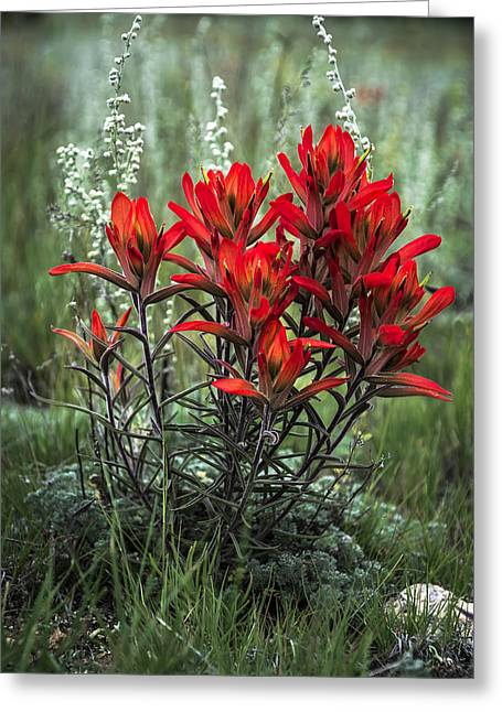 Crimson Red Indian Paintbrush Greeting Card by The Forests Edge Photography - Diane Sandoval