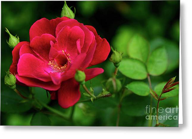 Greeting Card featuring the photograph Crimson Red Rose By Kaye Menner by Kaye Menner
