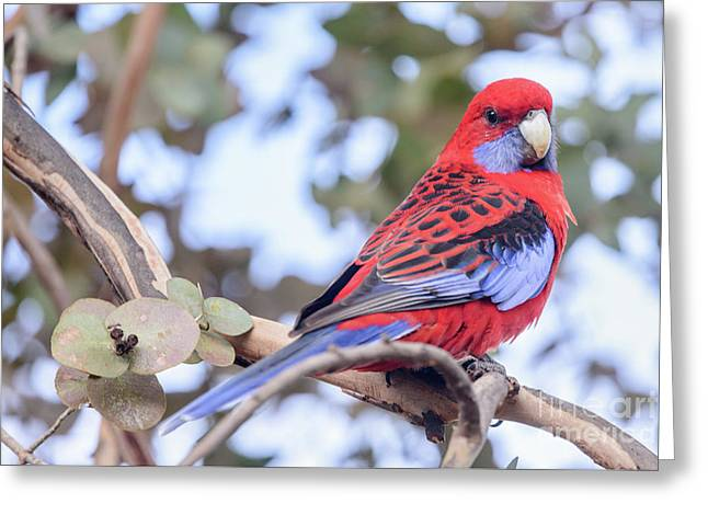 Crimson Rosella 03 Greeting Card