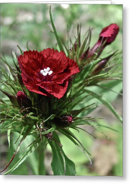 Crimson Velvet  Greeting Card by Debra     Vatalaro