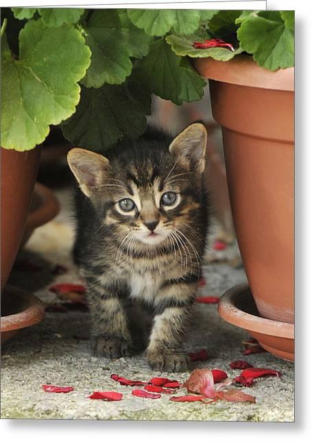Croatian Kitten Greeting Card by Don Wolf
