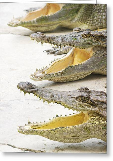 Crocodile Choir Greeting Card by Jorgo Photography - Wall Art Gallery