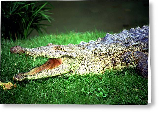 Crocodylus Acutus Greeting Card by Luciano Comba