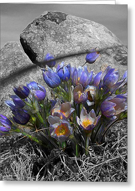 Crocus - Between A Rock And You Greeting Card by Stuart Turnbull