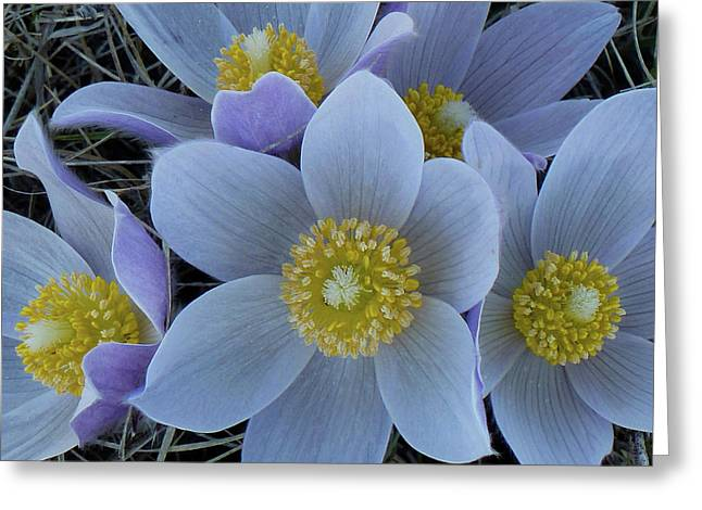Crocus Blossoms Greeting Card