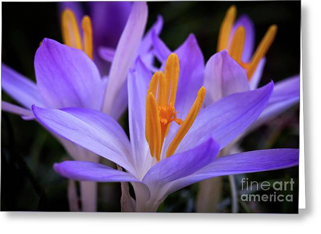 Greeting Card featuring the photograph Crocus Explosion by Douglas Stucky