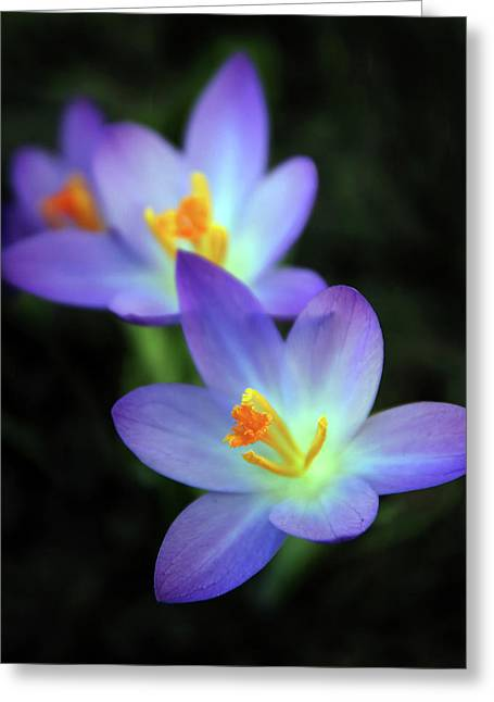 Crocus In Bloom Greeting Card by Jessica Jenney