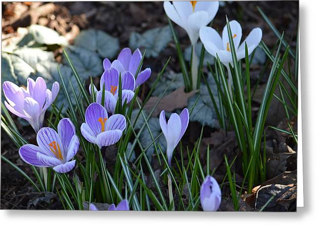 Crocus Greeting Card by Ron Smith