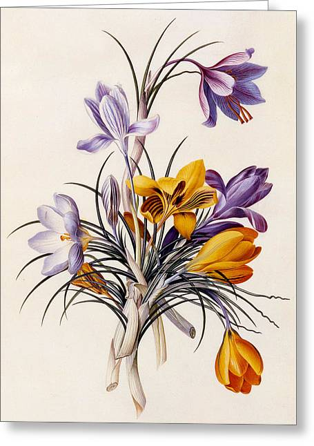 Crocuses Greeting Card by Georg Dionysius Ehret