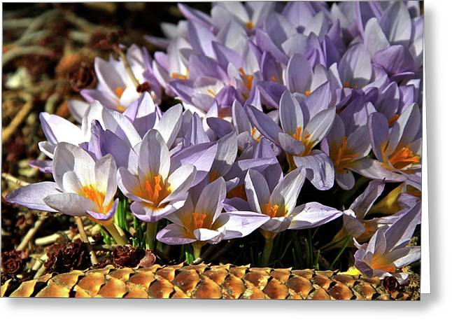Crocuses Serenade Greeting Card by Ed  Riche