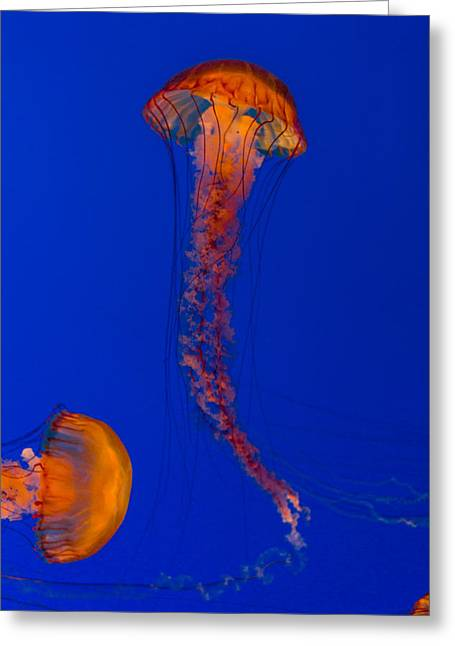 Crossing Pacific Sea Nettles 2 Greeting Card by Scott Campbell