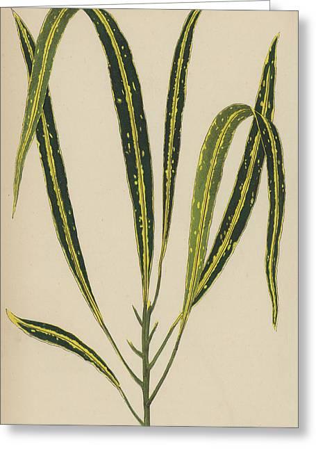 Croton Variegatum Angustifolium Greeting Card by English School