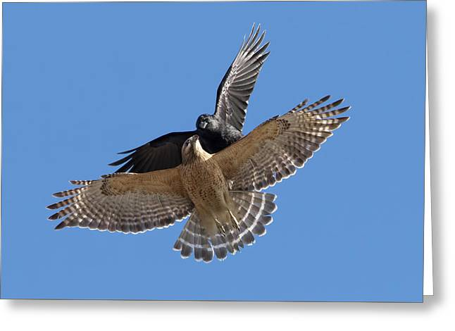Greeting Card featuring the photograph Crow Vs Hawk by Mircea Costina Photography