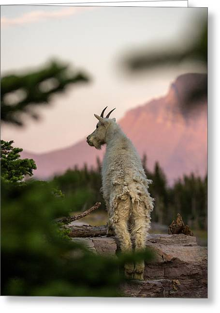 Mountain Goat // Hidden Lake, Glacier National Park  Greeting Card